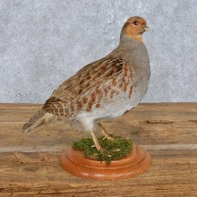 Standing Grey Partridge Mount For Sale #14832 @ The Taxidermy Store