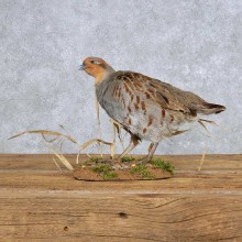 Standing Hungarian Grey Partridge Mount For Sale #14158 @ The Taxidermy Store