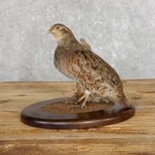 Hungarian Grey Partridge Taxidermy Mount #19478 For Sale @ The Taxidermy Store