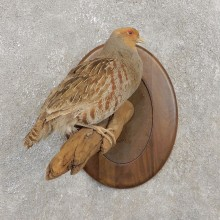Hungarian Grey Partridge Taxidermy Mount #21265 For Sale @ The Taxidermy Store