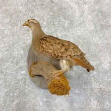 Hungarian Grey Partridge Taxidermy Mount #21752 For Sale @ The Taxidermy Store