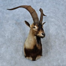 Hybrid Ibex Shoulder Mount For Sale #15285 @ The Taxidermy Store
