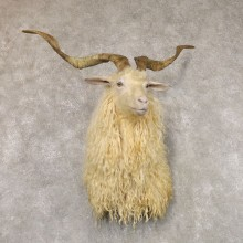 Hybrid Goat Shoulder Taxidermy Mount For Sale #22505 @ The Taxidermy Store