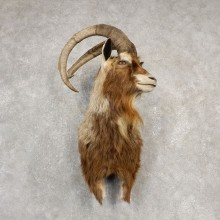Hybrid Ibex Shoulder Mount For Sale #20531@ The Taxidermy Store
