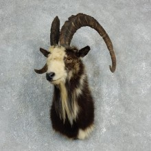 Hybrid Ibex Shoulder Mount For Sale #17913 @ The Taxidermy Store