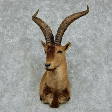 Spanish Ibex Shoulder Taxidermy Mount #13132 For Sale @ The Taxidermy Store