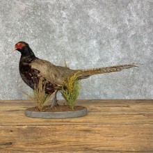 Melanistic Pheasant Taxidermy Mount #23501 For Sale @ The Taxidermy Store