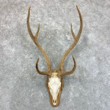 Axis Deer Plaque Mount For Sale #23557 @ The Taxidermy Store