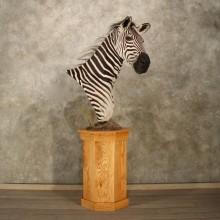 Zebra Pedestal Taxidermy Mount