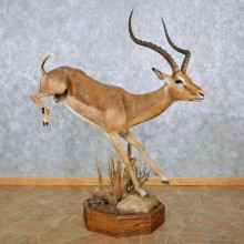 Leaping African Impala Life Size Taxidermy Mount #13937 For Sale @ The Taxidermy Store