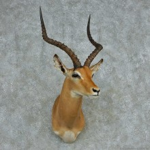African Impala Shoulder Mount #13723 For Sale @ The Taxidermy Store