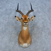 African Impala Shoulder Mount For Sale #15326 @ The Taxidermy Store