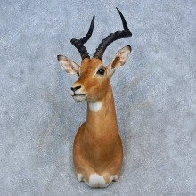 African Impala Shoulder Mount For Sale #15325 @ The Taxidermy Store