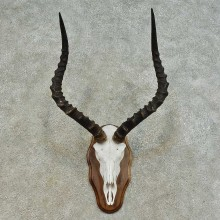 Impala Skull & Horn European Mount For Sale #16361 @ The Taxidermy Store
