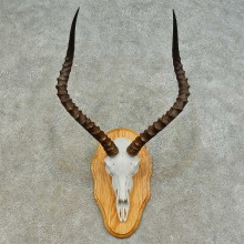 Impala Skull & Horn European Mount For Sale #16369 @ The Taxidermy Store