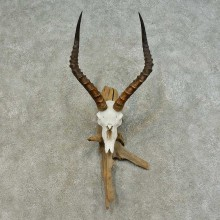 Impala Skull & Horn European Mount For Sale #16370 @ The Taxidermy Store