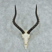 Impala Skull Horns European Mount #13729 For Sale @ The Taxidermy Store