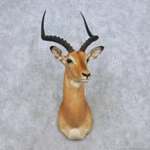 African Impala Shoulder Mount For Sale #14276 @ The Taxidermy Store