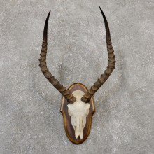 Impala Skull & Horn European Mount For Sale #20048 @ The Taxidermy Store