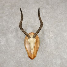 Impala Skull & Horn European Mount For Sale #21286 @ The Taxidermy Store