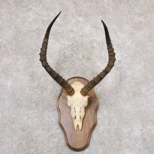 Impala Skull & Horn European Mount For Sale #22355 @ The Taxidermy Store