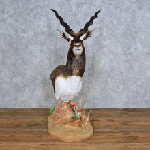 India Blackbuck Pedestal Mount For Sale #14331 @ The Taxidermy Store