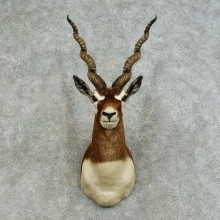 India Blackbuck Shoulder Mount For Sale #16120 @ The Taxidermy Store