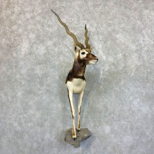 India Blackbuck 1/2 Life-Size Mount For Sale #23688 @ The Taxidermy Store