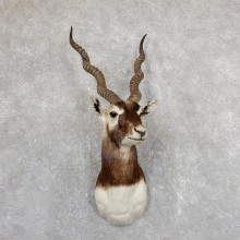 India Blackbuck Shoulder Mount For Sale #19634 @ The Taxidermy Store