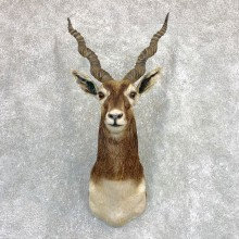 India Blackbuck Shoulder Mount For Sale #22090 @ The Taxidermy Store