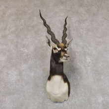 India Blackbuck Shoulder Mount For Sale #22508 @ The Taxidermy Store