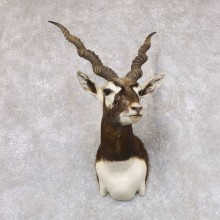 India Blackbuck Shoulder Mount For Sale #22510 @ The Taxidermy Store