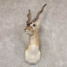 India Blackbuck Shoulder Mount For Sale #22511 @ The Taxidermy Store