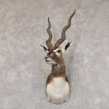 India Blackbuck Shoulder Mount For Sale #22512 @ The Taxidermy Store