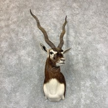 India Blackbuck Shoulder Mount For Sale #23523 @ The Taxidermy Store