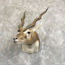 India Blackbuck Shoulder Mount For Sale #24241 @ The Taxidermy Store