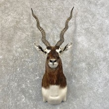 India Blackbuck Shoulder Mount For Sale #25155 @ The Taxidermy Store