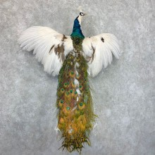 Indian Peacock Bird Mount For Sale #22680 @ The Taxidermy Store