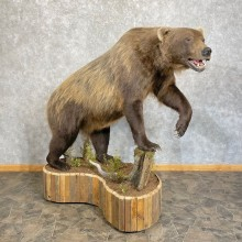 Inland Grizzly Bear Life-Size Taxidermy Mount For Sale
