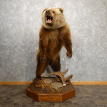 Inland Grizzly Bear Mount For Sale #18876 @ The Taxidermy Store