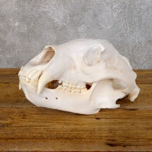 Inland Grizzly Bear Skull Mount For Sale #18755 @ The Taxidermy Store