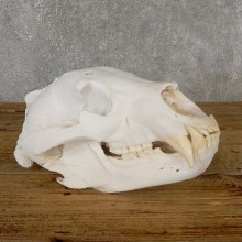 Inland Grizzly Bear Skull Mount For Sale #19268@ The Taxidermy Store