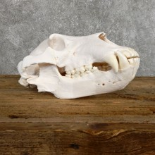 Inland Grizzly Bear Skull Mount For Sale #19482 @ The Taxidermy Store