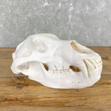 Inland Grizzly Bear Skull Mount For Sale #24845 @ The Taxidermy Store
