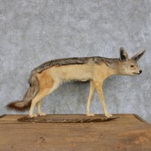 Black Backed Jackal Taxidermy Mount For Sale