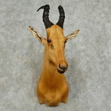 Jackson Hartebeest Shoulder Mount For Sale #16039 @ The Taxidermy Store