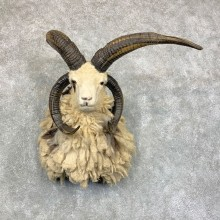 Jacob's Four Horn Taxidermy Mount For Sale #22847 @ The Taxidermy Store