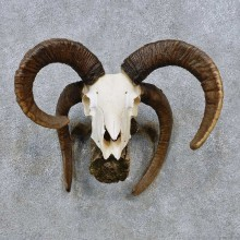 Jacobs Four-Horn European Taxidermy Mount For Sale #14493 @ The Taxidermy Store