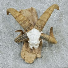Jacobs Four Horn Skull Mount #12557 For Sale @ The Taxidermy Store