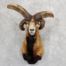 Jacobs Four Horn Ram Taxidermy Mount #19638 For Sale @ The Taxidermy Store